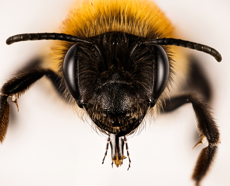 Gray-patched Mining Bee, Mining Bee, Andrena nitida Stock Photo