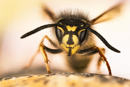Common Wasp, Wasp, Vespula vulgaris Stock Photo