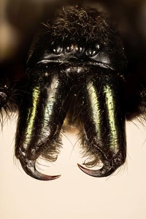 Tube Web Spider, Green-fanged tube web spider, Segestria florentina