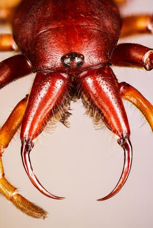 Woodlouse Spider, Woodlouse Hunter, Spider, Dysdera crocata Фото со стока - 124510562