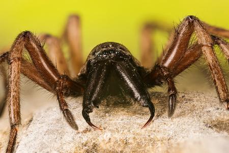 Stone Spider, Stone Ground-spider, Drassodes lapidosus