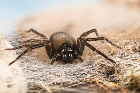 Black Lace-Weaver, Black Lace Weaver, Amaurobius ferox Фото со стока