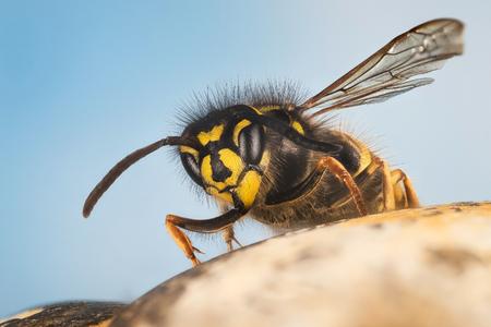 Common Wasp, Wasp, Vespula vulgaris Фото со стока - 124510566