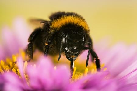 Garden Bumblebee, Bumblebee, Bombus hortorum Фото со стока - 125897248