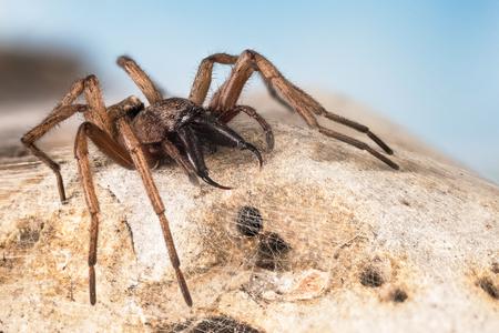 Stone Spider, Stone Ground-spider, Drassodes lapidosus Фото со стока - 124510568