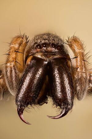 Mouse Spider, Common Mouse-spider, Spider, Scotophaeus blackwalli