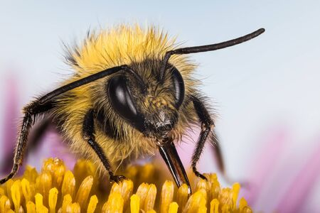 Early bumblebee, Bumblebee, Bombus pratorum