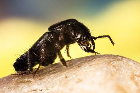 Devil's coach-horse beetle, Devil's Coach Horse, Ocypus olens Фото со стока - 125897296