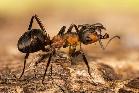 Wood ant, Ant, Ants, Formica rufa Фото со стока - 128084544