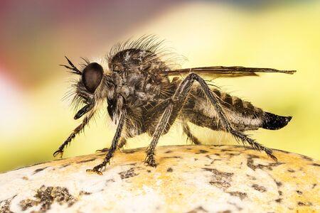 Fan-bristled Robberfly, Robberfly, Robber Fly, Dysmachus trigonus Stock Photo
