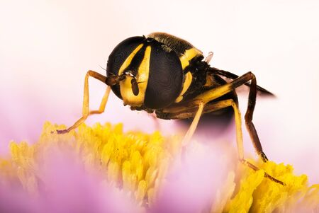 Hover Fly, Hover-Fly, Fly, Syrphidae Stock Photo