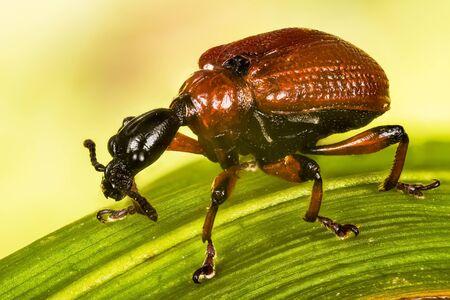 Hazel Leaf-roller, Hazel Leaf-rolling Weevil, Apoderus coryli, Attelabidae Stock Photo