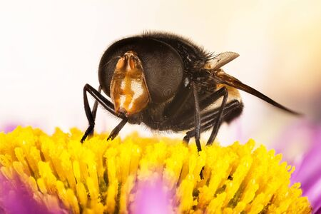 Pellucid Fly, Pellucid Hoverflies, Large Pied-hoverfly, Volucella pellucens Stock Photo