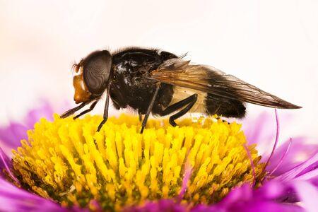 Pellucid Fly, Pellucid Hoverflies, Large Pied-hoverfly, Volucella pellucens Imagens