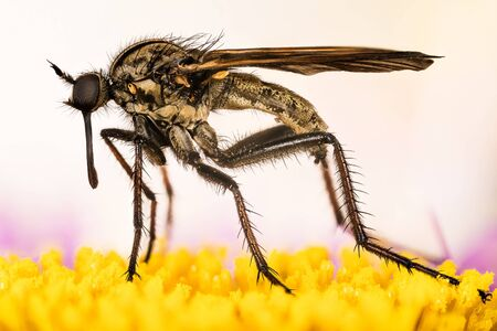 Empis livida, Dance fly