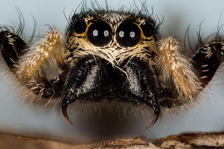 Jumping Spider, Zebra Back Spider, Spider, Salticus scenicus, Salticidae Imagens