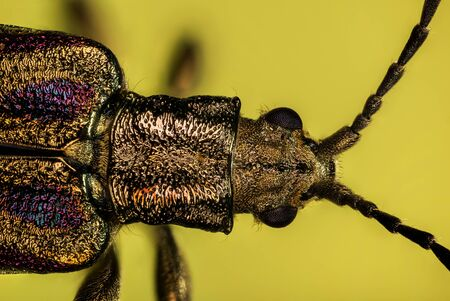 Donacia semicuprea, Leaf Beetles, Beetle, Donaciinae