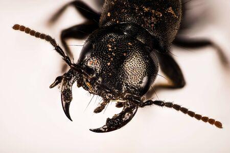 Devils coach-horse beetle, Devils Coach Horse, Ocypus olens