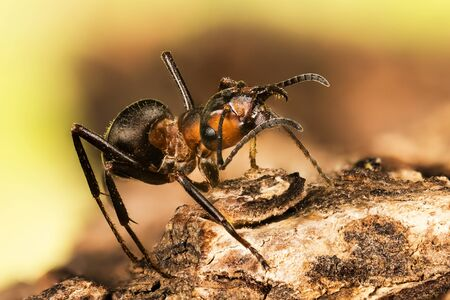 close-up macro shot of Wood ant, Ant, Ants, Formica rufa
