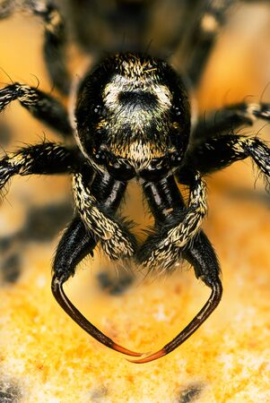 close-up macro shot of Jumping Spider, Zebra Back Spider, Spider, Salticus scenicus, Salticidae - MALE Фото со стока
