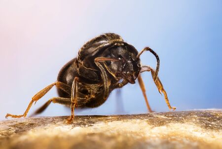 Close-up macro shot of Black Garden Ant. Her Latin name is Lasius niger. This is Queen without wings.