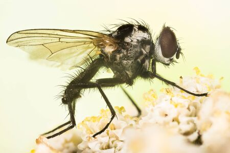 Close-up macro shot of Anthomyia procellaris. This is a genus of flies in the family Anthomyiidae.