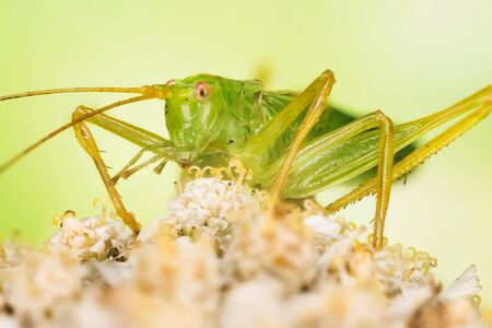 Close-up macro shot of male of Oak Bush-Cricket. His Latin name is Meconema thalassinum.