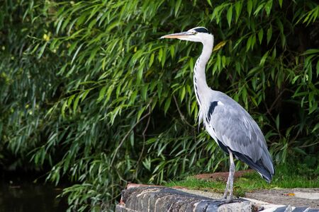 Gray Heron on the canal. Her Latin name is Ardea cinerea.