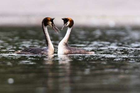 Dance of love. Pair of Great Crested Grebe on the water. His Latin name is Podiceps cristatus Фото со стока