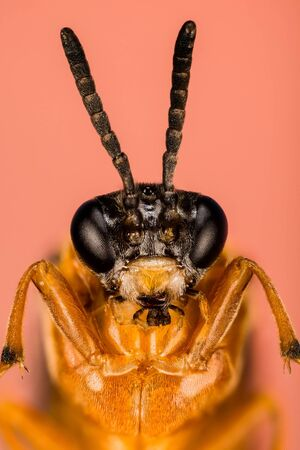 Macro focus stacking shot of Turnip Sawfly. His Latin name is Athalia rosae. Фото со стока