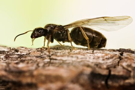 Close-up macro shot of Black Garden Ant. Her Latin name is Lasius niger. This is Queen with wings. Фото со стока