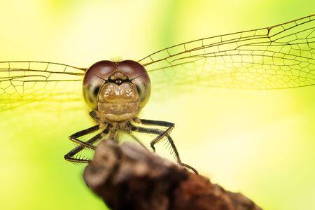 Close-up macro shot in Focus Stacking technique of Common Darter. His Latin name is Sympetrum striolatum.