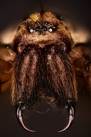 Macro focus stacking shot of female Giant House Spider. His Latin name is Eratigena atrica.