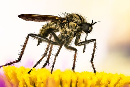 Empis livida, Macro focus stacking shot of Dance fly. Her Latin name is Empis livida.