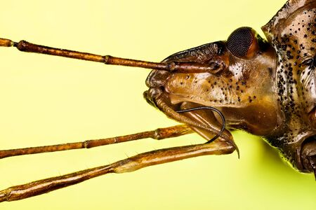 Macro focus stacking shot of Red-legged Shieldbug. His Latin name is Pentatoma rufipes