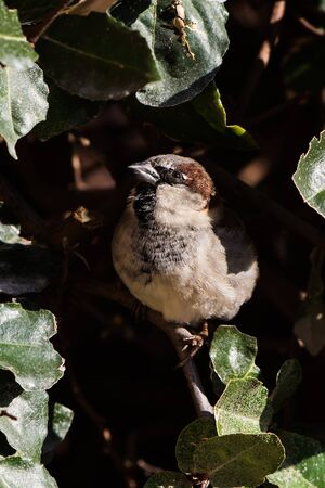 Male of House Sparrow or Sparrow. His Latin name is Passer domesticus.