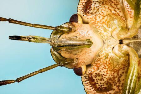 Macro portrait of Green Shield Bug or Green Shieldbug. His Latin name is Palomena prasina. Фото со стока