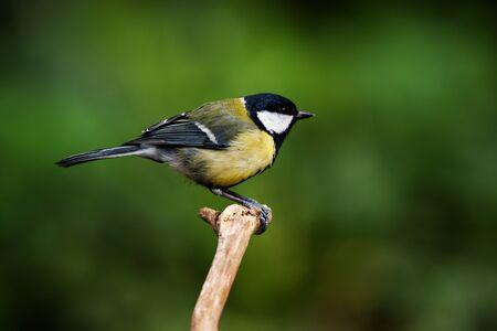 Great Tit in his environment. Her Latin name is Parus major.