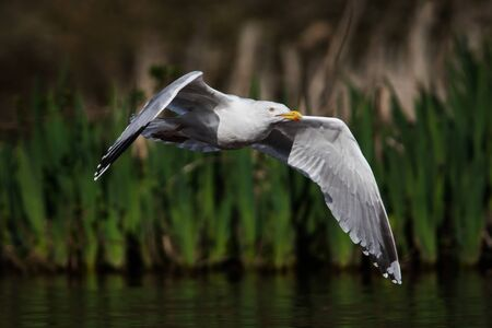 Herring Gull in fly. Her Latin name are Larus argentatus. Imagens