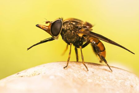 Focus Stacking photo of Heineken Fly on a leaf. Her Latin name is Rhingia campestris.