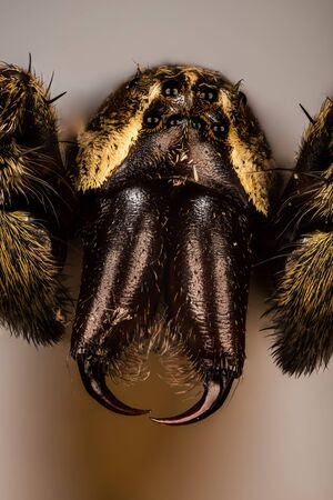 Focus Stacking Portrait of Thin-legged Wolf Spiders.