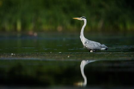 Gray Heron while hunting for fish in water. Her Latin name is Ardea cinerea. 版權商用圖片