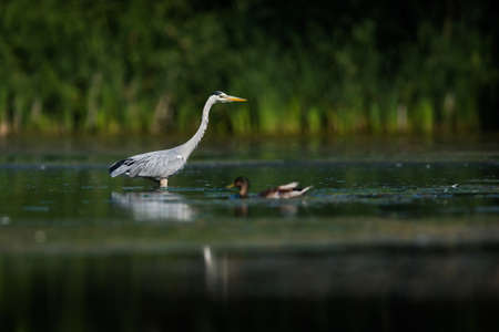 Gray Heron while hunting for fish in water. Her Latin name is Ardea cinerea. Фото со стока