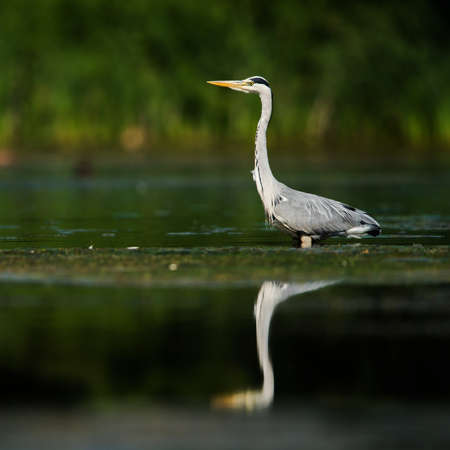 Gray Heron while hunting for fish in water. Фото со стока