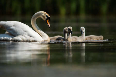 Family of Mute Swan on a feeding ground with young at dawn. Their Latin name are Cygnus olor.