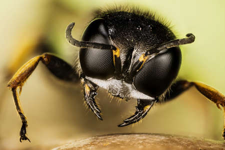 Focus Stacking portrait of Square-headed Wasp. Her Latin name is Ectemnius continuus Фото со стока
