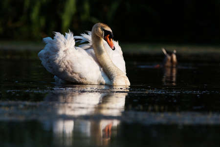 Male of Mute Swan on a water at dawn. His Latin name is Cygnus olor. Фото со стока