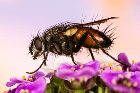 Macro Focus Stacking picture of Parasite Fly on flowers. Her Latin name is Eriothrix rufomaculata.