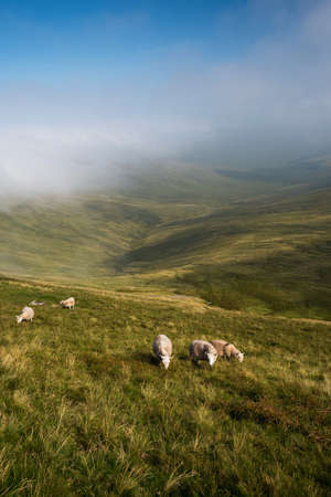 Sheeps from the Pen y Fan in the Brecon Beacons National Park in Wales.