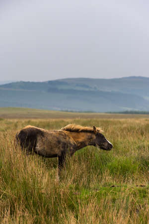Wild Horses from Brecon Beacons National Park in Wales. Фото со стока